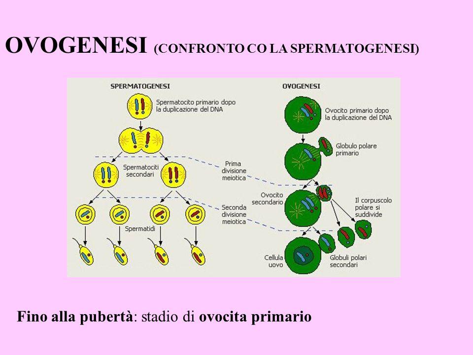 OVOGENESI (CONFRONTO CO LA SPERMATOGENESI) Fino alla pubertà: stadio di ovocita primario