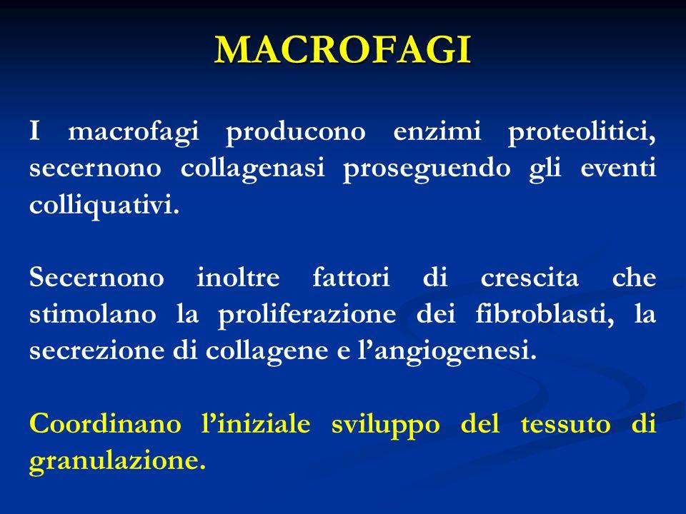 I macrofagi producono enzimi proteolitici, secernono collagenasi proseguendo gli eventi colliquativi. Secernono inoltre fattori di crescita che stimol