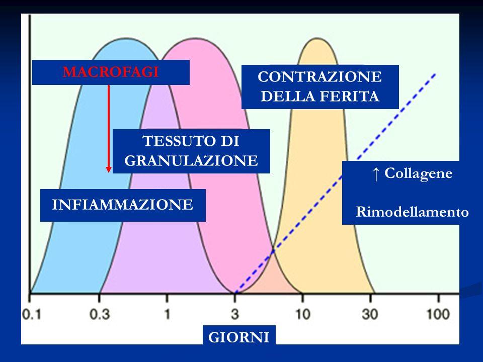INFIAMMAZIONE TESSUTO DI GRANULAZIONE CONTRAZIONE DELLA FERITA Collagene Rimodellamento GIORNI MACROFAGI