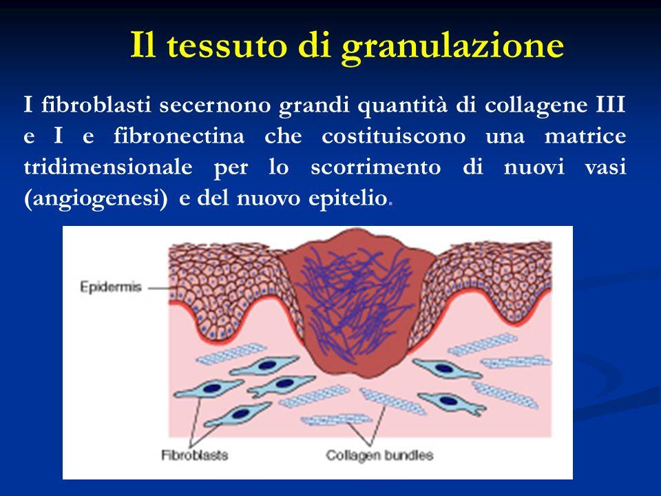 Il tessuto di granulazione I fibroblasti secernono grandi quantità di collagene III e I e fibronectina che costituiscono una matrice tridimensionale p