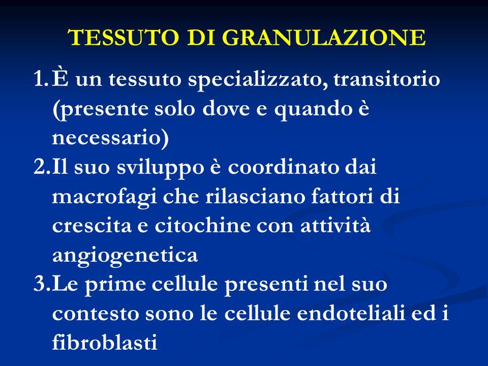 TESSUTO DI GRANULAZIONE 1.È un tessuto specializzato, transitorio (presente solo dove e quando è necessario) 2.Il suo sviluppo è coordinato dai macrof
