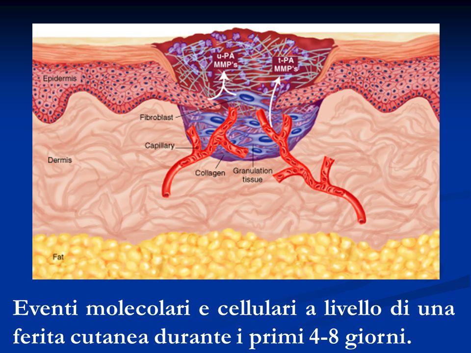 Eventi molecolari e cellulari a livello di una ferita cutanea durante i primi 4-8 giorni.