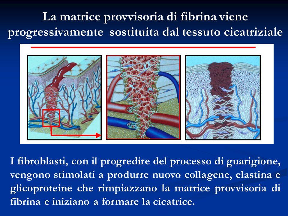 La matrice provvisoria di fibrina viene progressivamente sostituita dal tessuto cicatriziale I fibroblasti, con il progredire del processo di guarigio