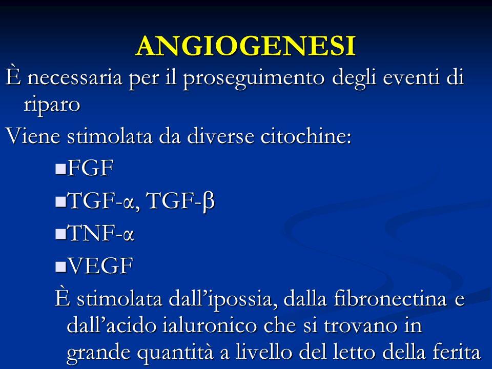 ANGIOGENESI È necessaria per il proseguimento degli eventi di riparo Viene stimolata da diverse citochine: FGF FGF TGF-α, TGF- TGF-α, TGF- TNF-α TNF-α
