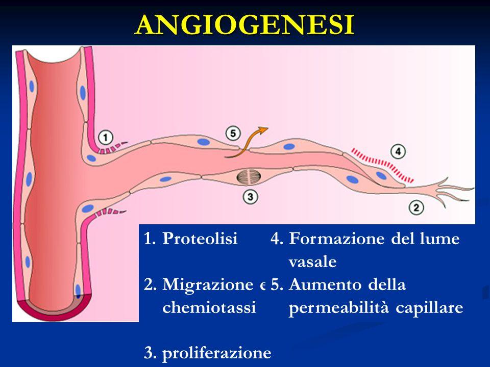 1.Proteolisi 2.Migrazione e chemiotassi 3.proliferazione 4.Formazione del lume vasale 5.Aumento della permeabilità capillare ANGIOGENESI