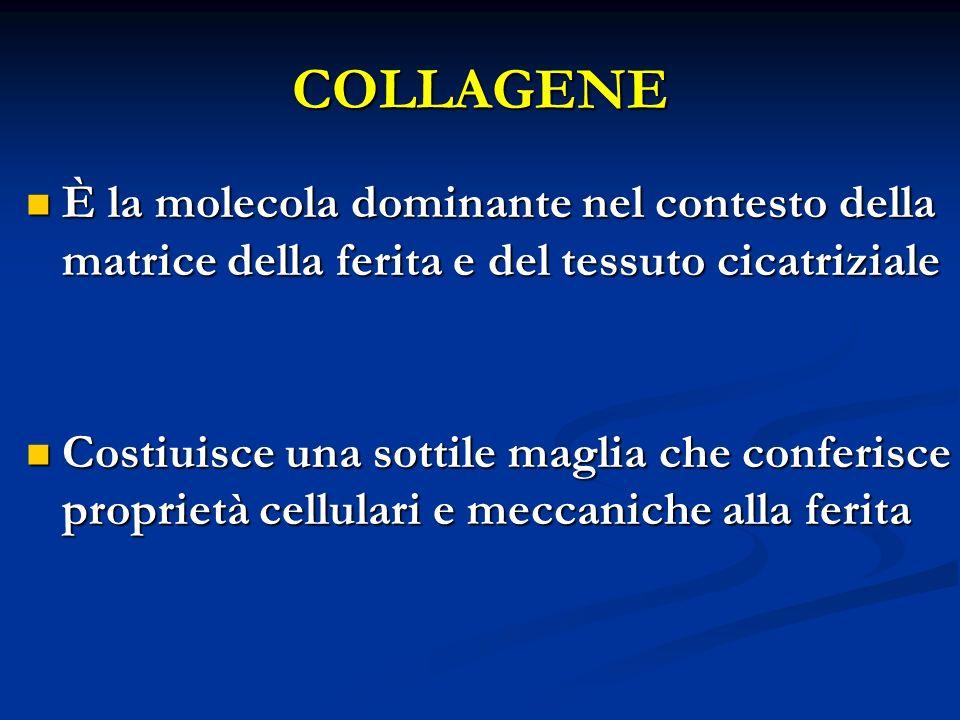 COLLAGENE È la molecola dominante nel contesto della matrice della ferita e del tessuto cicatriziale È la molecola dominante nel contesto della matric