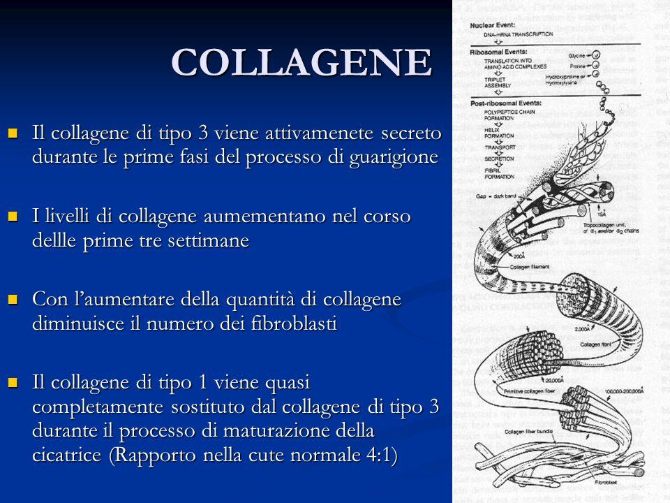 COLLAGENE Il collagene di tipo 3 viene attivamenete secreto durante le prime fasi del processo di guarigione Il collagene di tipo 3 viene attivamenete