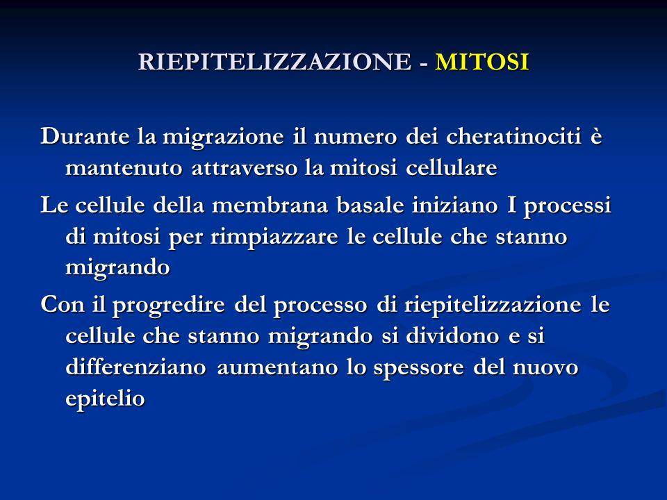 Durante la migrazione il numero dei cheratinociti è mantenuto attraverso la mitosi cellulare Le cellule della membrana basale iniziano I processi di m