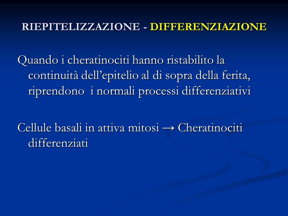 Quando i cheratinociti hanno ristabilito la continuità dellepitelio al di sopra della ferita, riprendono i normali processi differenziativi Cellule ba