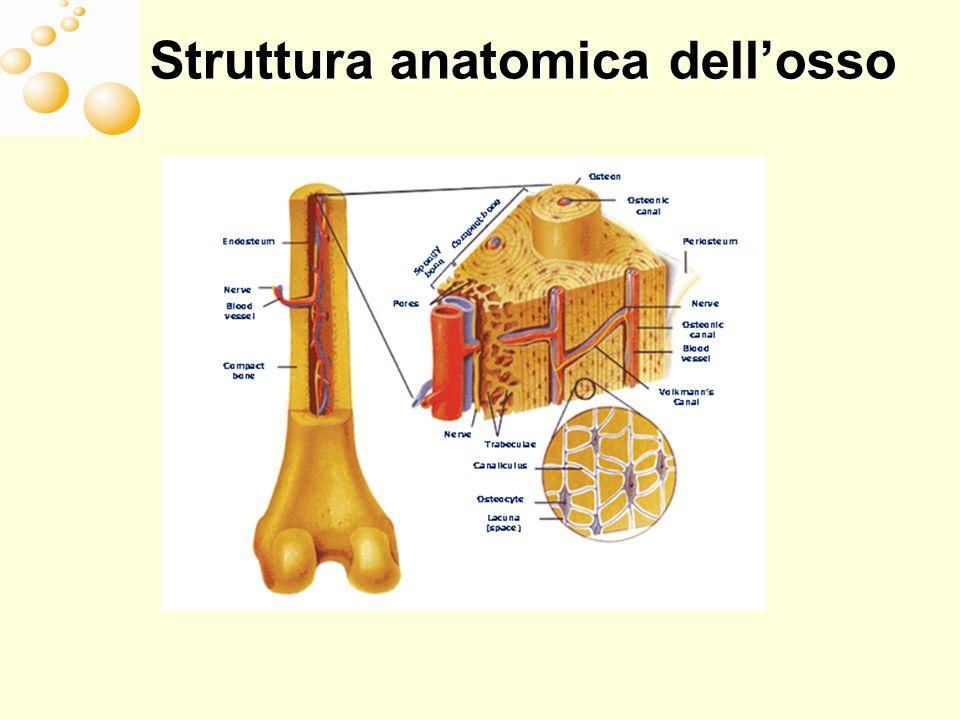 Struttura anatomica dellosso