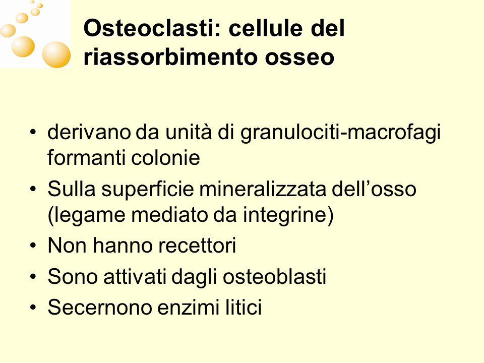 Osteoclasti: cellule del riassorbimento osseo derivano da unità di granulociti-macrofagi formanti colonie Sulla superficie mineralizzata dellosso (leg