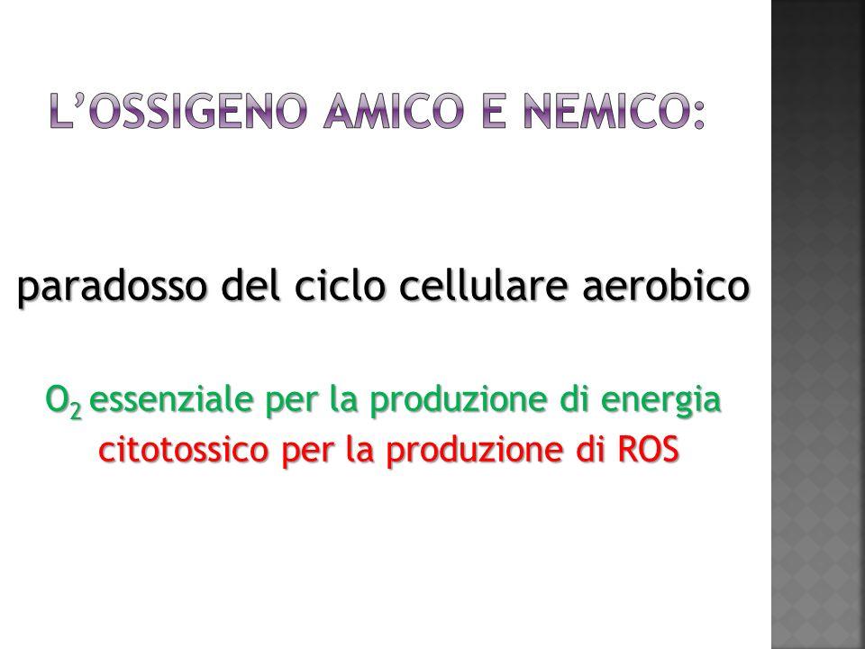 paradosso del ciclo cellulare aerobico O 2 essenziale per la produzione di energia citotossico per la produzione di ROS citotossico per la produzione