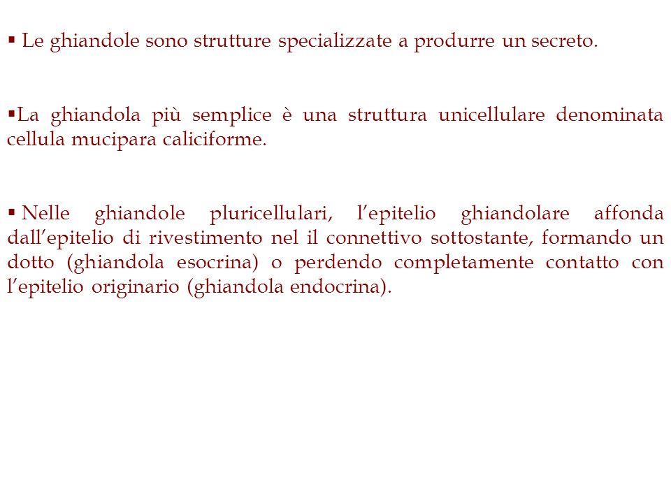 Le ghiandole sono strutture specializzate a produrre un secreto. La ghiandola più semplice è una struttura unicellulare denominata cellula mucipara ca