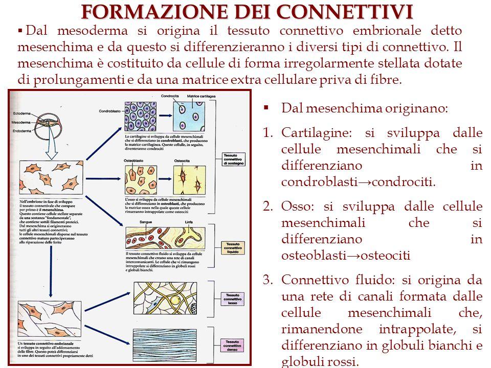 FORMAZIONE DEI CONNETTIVI Dal mesenchima originano: 1.Cartilagine: si sviluppa dalle cellule mesenchimali che si differenziano in condroblasticondroci