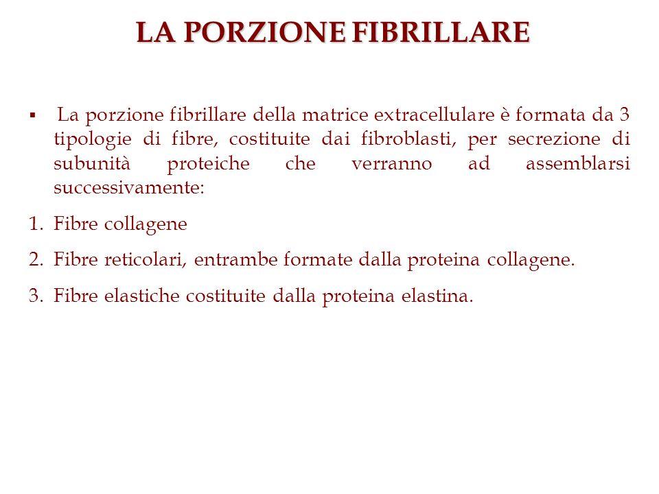 LA PORZIONE FIBRILLARE La porzione fibrillare della matrice extracellulare è formata da 3 tipologie di fibre, costituite dai fibroblasti, per secrezio