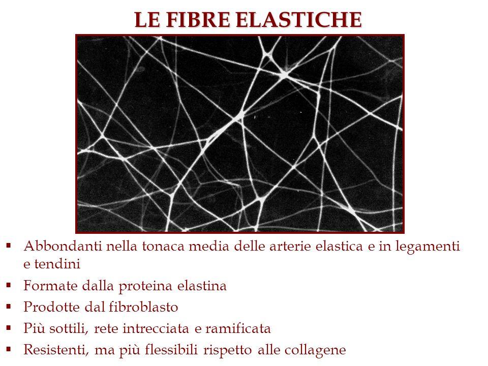 Abbondanti nella tonaca media delle arterie elastica e in legamenti e tendini Formate dalla proteina elastina Prodotte dal fibroblasto Più sottili, re