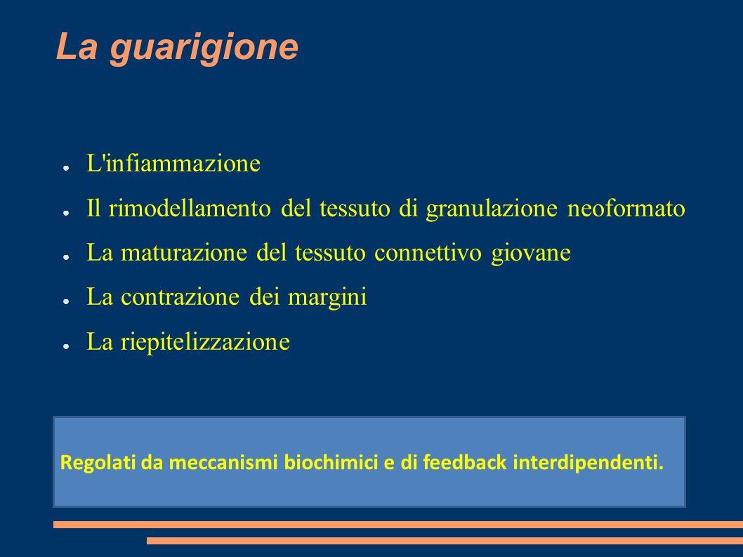 La guarigione L'infiammazione Il rimodellamento del tessuto di granulazione neoformato La maturazione del tessuto connettivo giovane La contrazione de