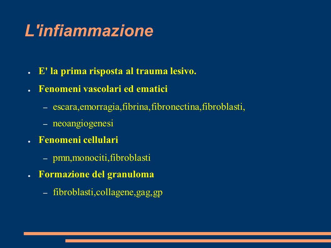 L'infiammazione E' la prima risposta al trauma lesivo. Fenomeni vascolari ed ematici – escara,emorragia,fibrina,fibronectina,fibroblasti, – neoangioge