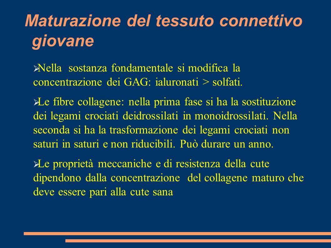 Maturazione del tessuto connettivo giovane Nella sostanza fondamentale si modifica la concentrazione dei GAG: ialuronati > solfati. Le fibre collagene