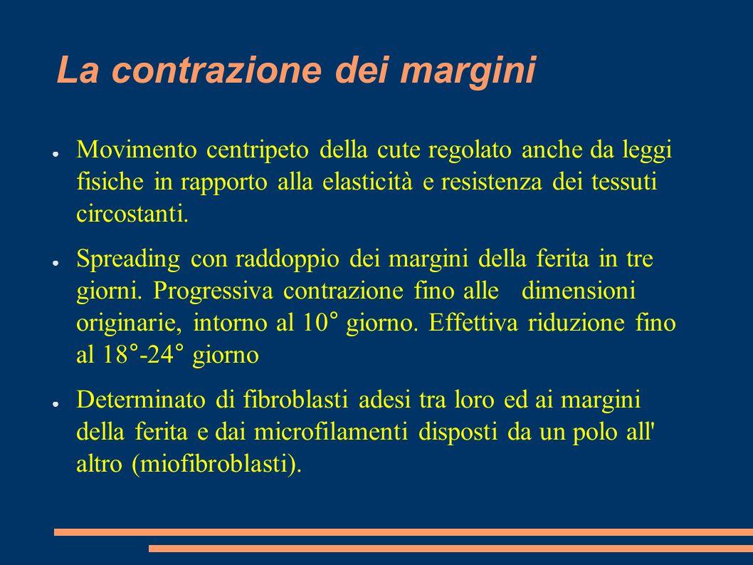 La contrazione dei margini Movimento centripeto della cute regolato anche da leggi fisiche in rapporto alla elasticità e resistenza dei tessuti circos