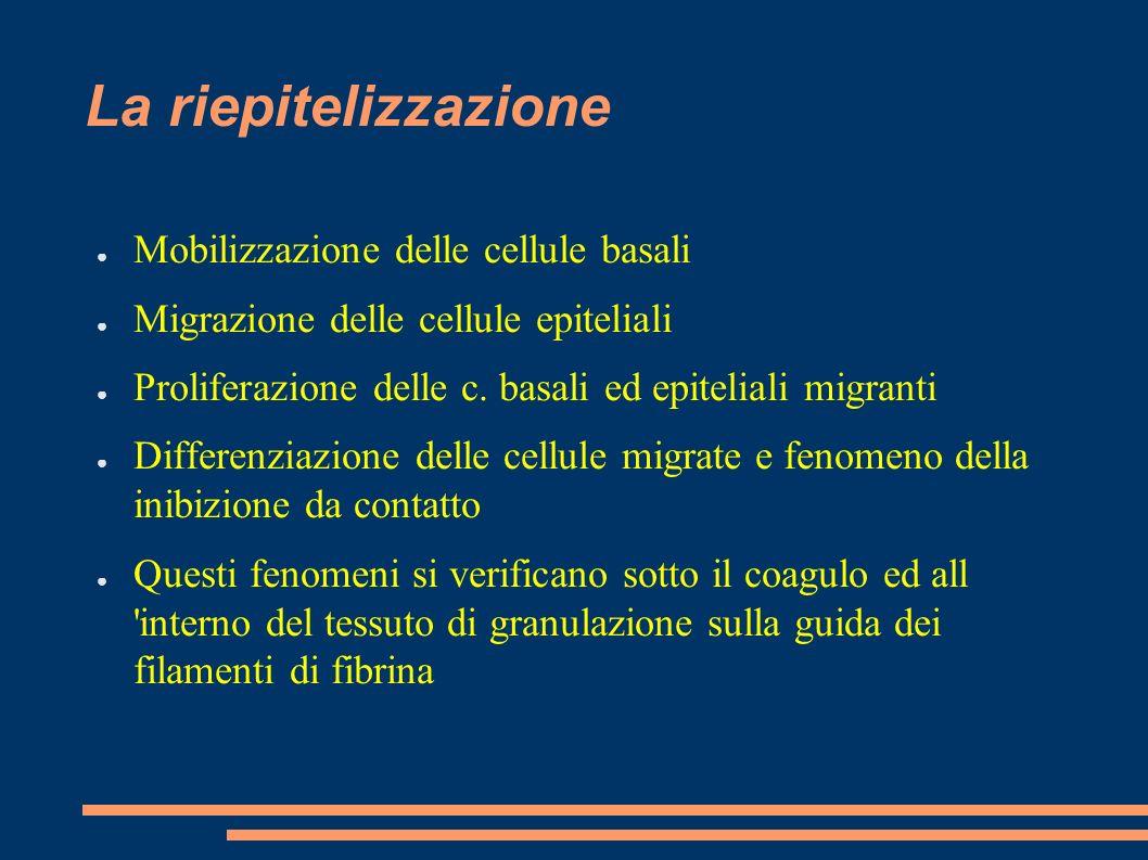 La riepitelizzazione Mobilizzazione delle cellule basali Migrazione delle cellule epiteliali Proliferazione delle c. basali ed epiteliali migranti Dif