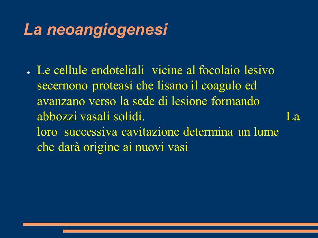 La neoangiogenesi Le cellule endoteliali vicine al focolaio lesivo secernono proteasi che lisano il coagulo ed avanzano verso la sede di lesione forma
