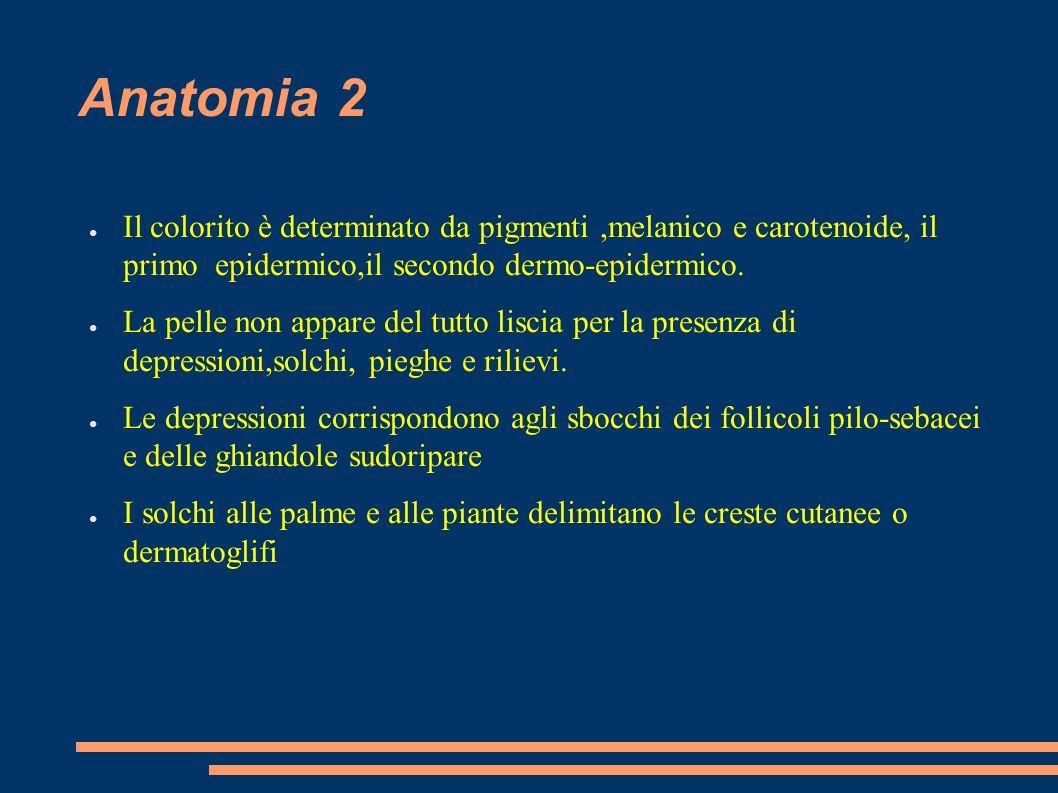 Anatomia 2 Il colorito è determinato da pigmenti,melanico e carotenoide, il primo epidermico,il secondo dermo-epidermico. La pelle non appare del tutt