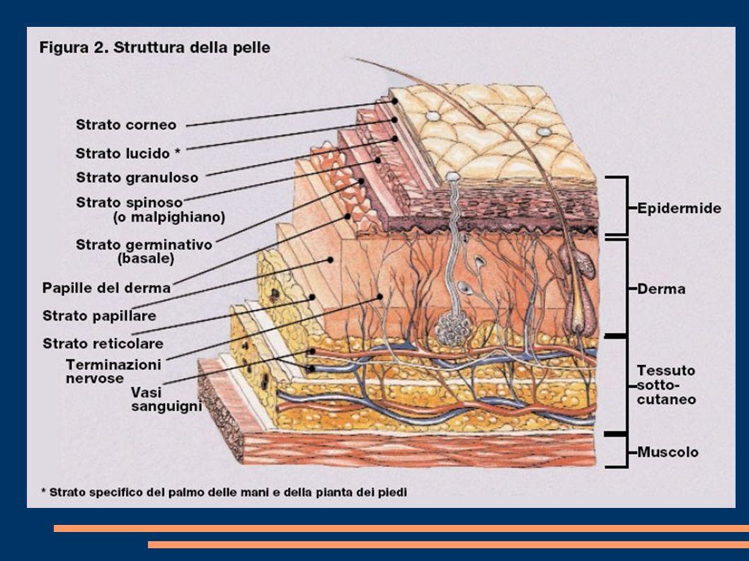 Anatomia 4 EPIDERMIDE (avascolare) – strato corneo – strato lucido (palme e piante) – strato granuloso – strato spinoso del Malpighi – strato basale o germinativo