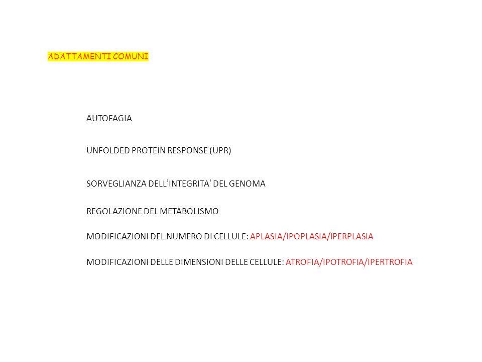 ADATTAMENTI COMUNI AUTOFAGIA MODIFICAZIONI DEL NUMERO DI CELLULE: APLASIA/IPOPLASIA/IPERPLASIA MODIFICAZIONI DELLE DIMENSIONI DELLE CELLULE: ATROFIA/IPOTROFIA/IPERTROFIA UNFOLDED PROTEIN RESPONSE (UPR) SORVEGLIANZA DELLINTEGRITA DEL GENOMA REGOLAZIONE DEL METABOLISMO