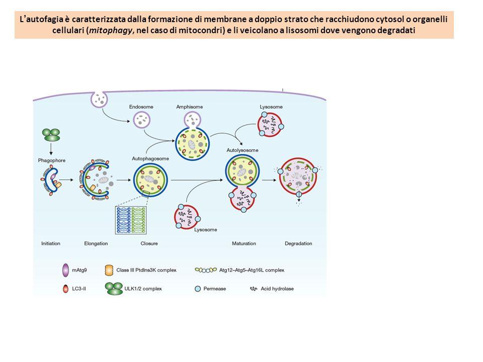 Lautofagia è caratterizzata dalla formazione di membrane a doppio strato che racchiudono cytosol o organelli cellulari (mitophagy, nel caso di mitocon