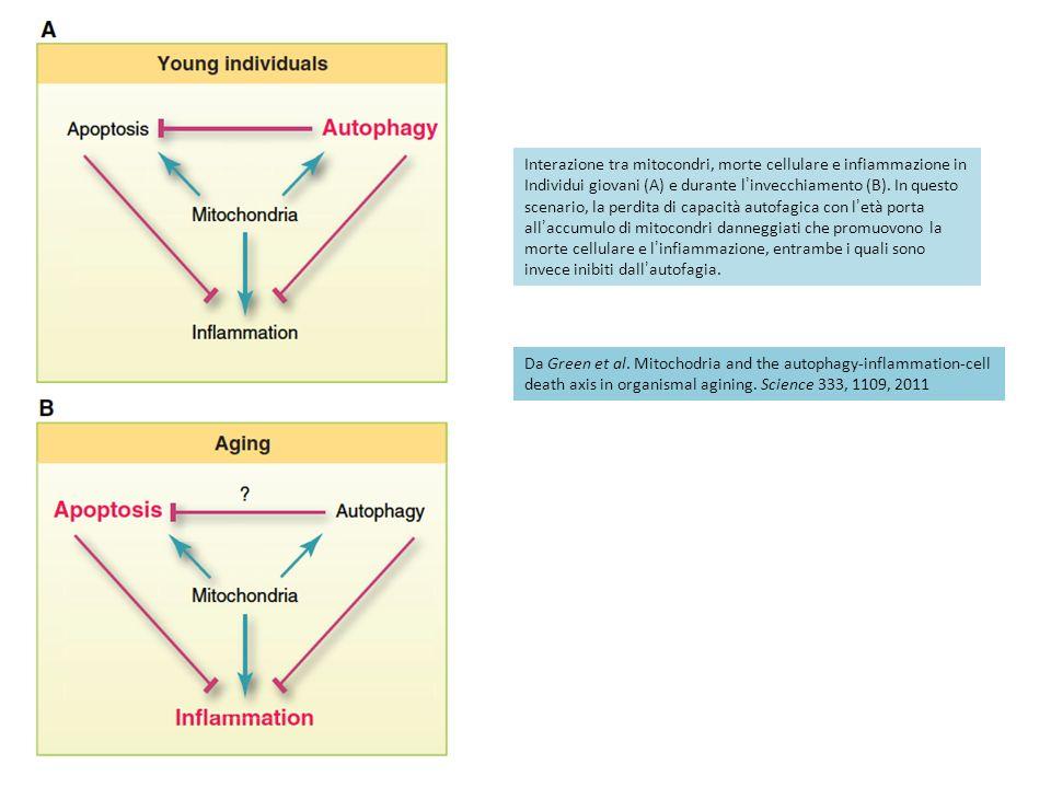 Interazione tra mitocondri, morte cellulare e infiammazione in Individui giovani (A) e durante linvecchiamento (B).