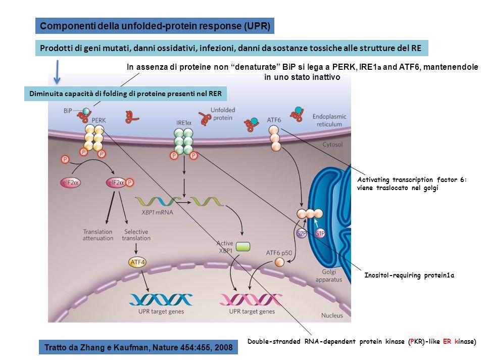 Componenti della unfolded-protein response (UPR) In assenza di proteine non denaturate BiP si lega a PERK, IRE1 a and ATF6, mantenendole in uno stato inattivo Tratto da Zhang e Kaufman, Nature 454:455, 2008 Double-stranded RNA-dependent protein kinase (PKR)-like ER kinase) Inositol-requiring protein1a Activating transcription factor 6: viene traslocato nel golgi Prodotti di geni mutati, danni ossidativi, infezioni, danni da sostanze tossiche alle strutture del RE Diminuita capacità di folding di proteine presenti nel RER