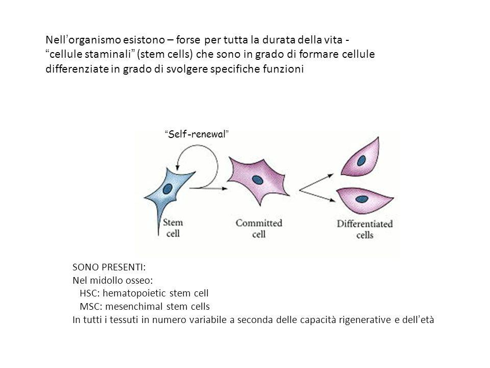 Nellorganismo esistono – forse per tutta la durata della vita - cellule staminali (stem cells) che sono in grado di formare cellule differenziate in grado di svolgere specifiche funzioni Self-renewal SONO PRESENTI: Nel midollo osseo: HSC: hematopoietic stem cell MSC: mesenchimal stem cells In tutti i tessuti in numero variabile a seconda delle capacità rigenerative e delletà