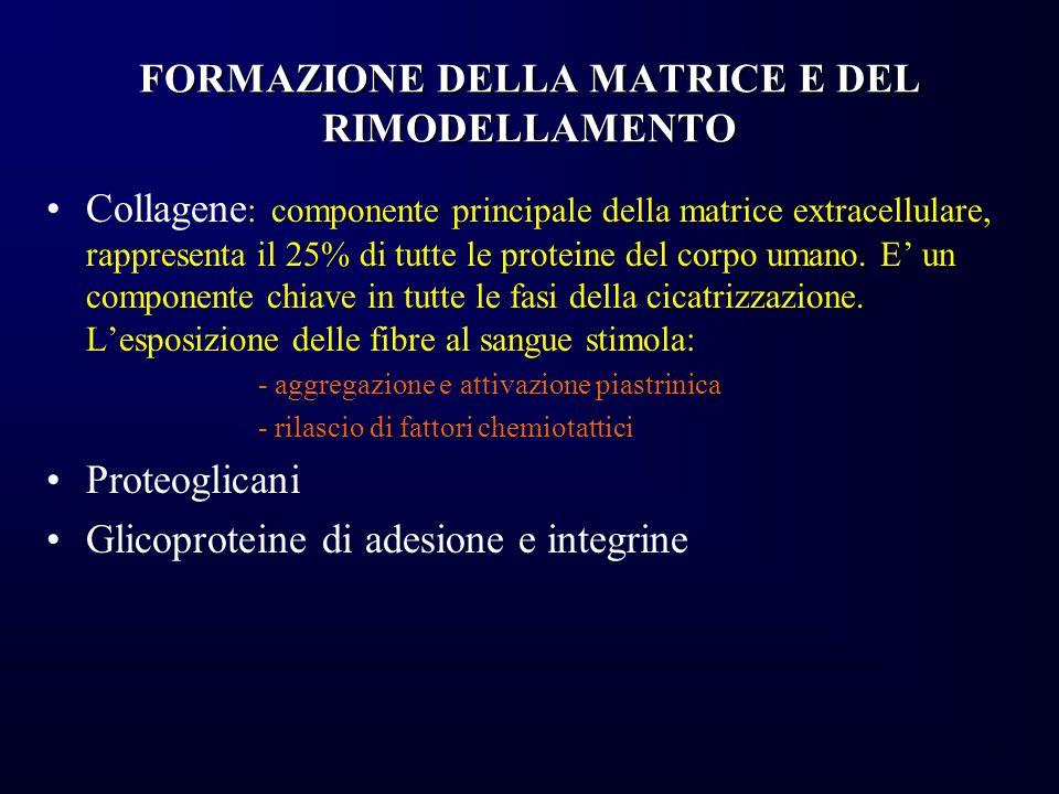 FORMAZIONE DELLA MATRICE E DEL RIMODELLAMENTO Collagene : componente principale della matrice extracellulare, rappresenta il 25% di tutte le proteine