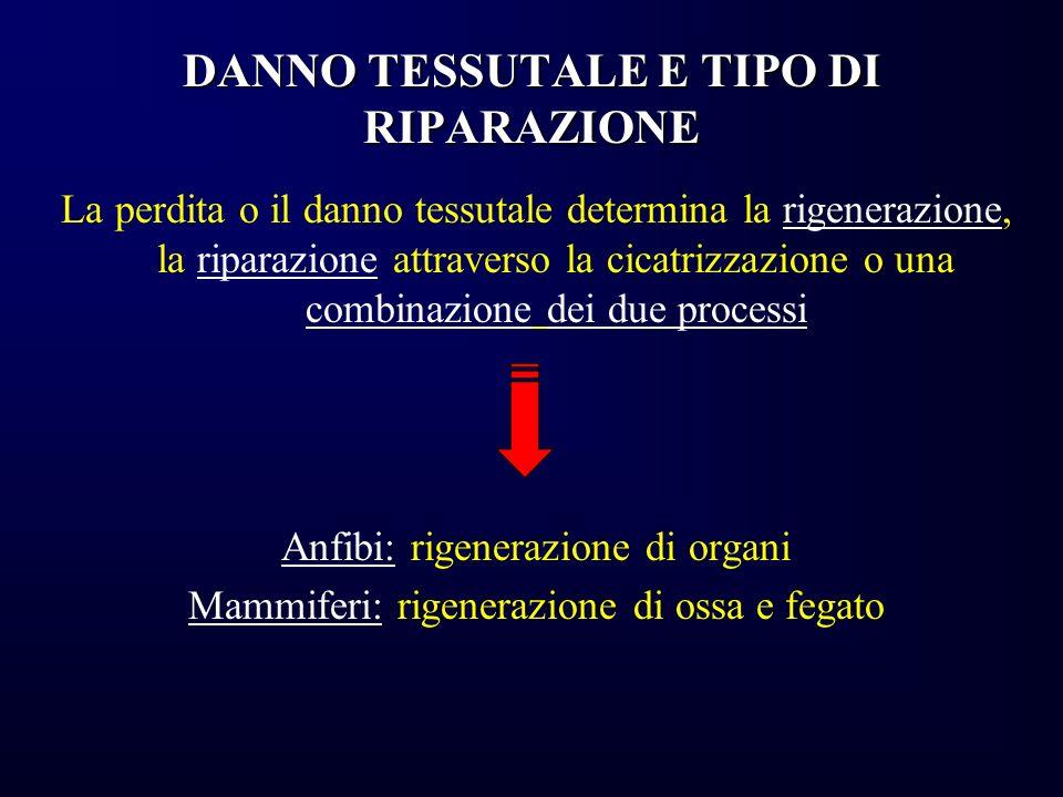DANNO TESSUTALE E TIPO DI RIPARAZIONE La perdita o il danno tessutale determina la rigenerazione, la riparazione attraverso la cicatrizzazione o una c