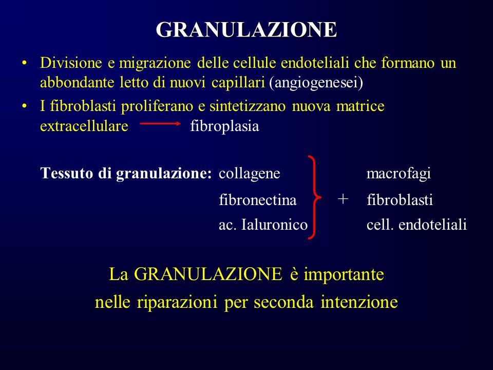 GRANULAZIONE Divisione e migrazione delle cellule endoteliali che formano un abbondante letto di nuovi capillari (angiogenesei) I fibroblasti prolifer