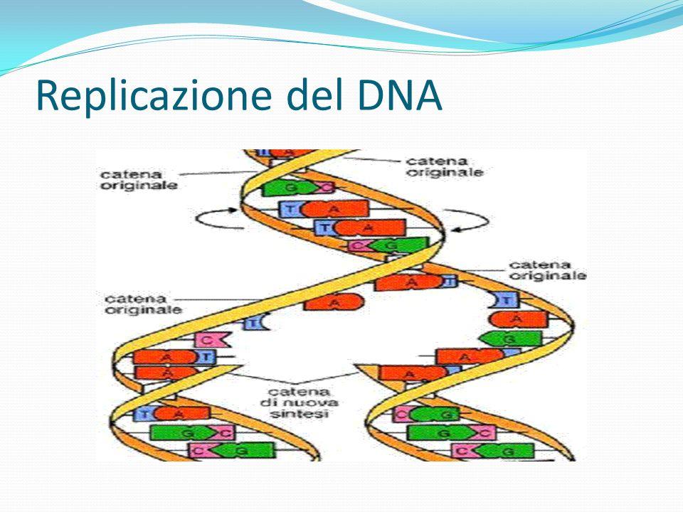 Sperimentalmente: Duplicazione segmentale prima di un rearrangement Associazione tra i due cambiamenti (causa/effetto.