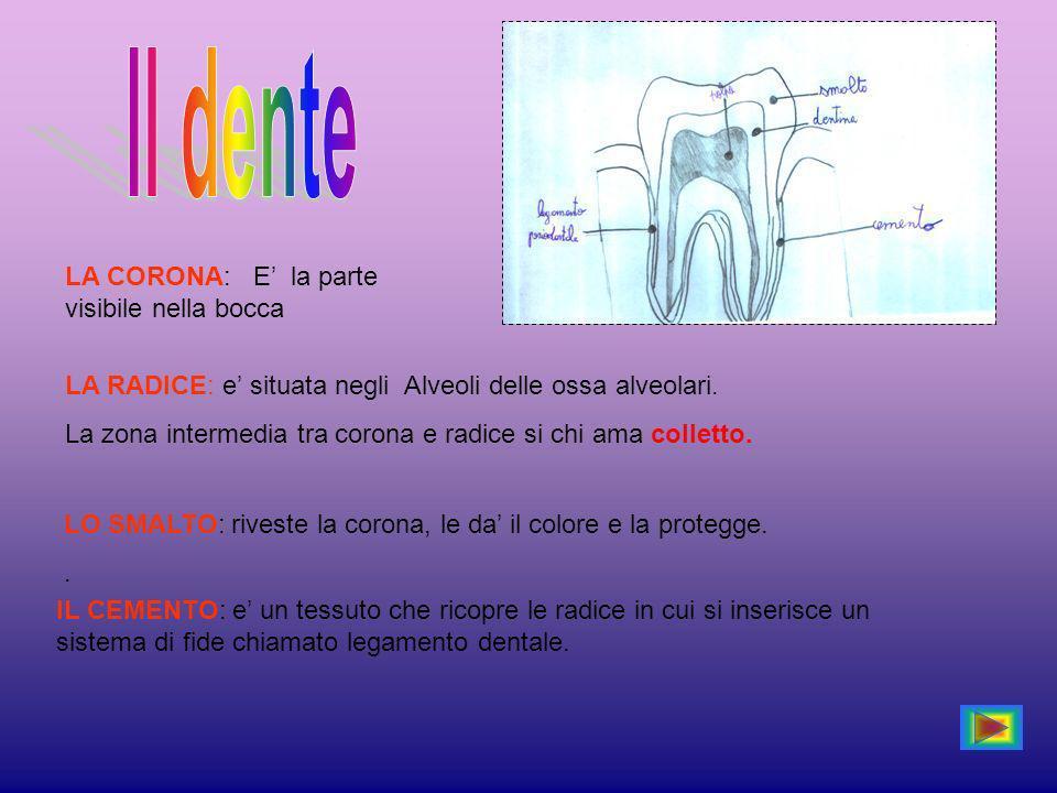 LA CORONA: E la parte visibile nella bocca LA RADICE: e situata negli Alveoli delle ossa alveolari.