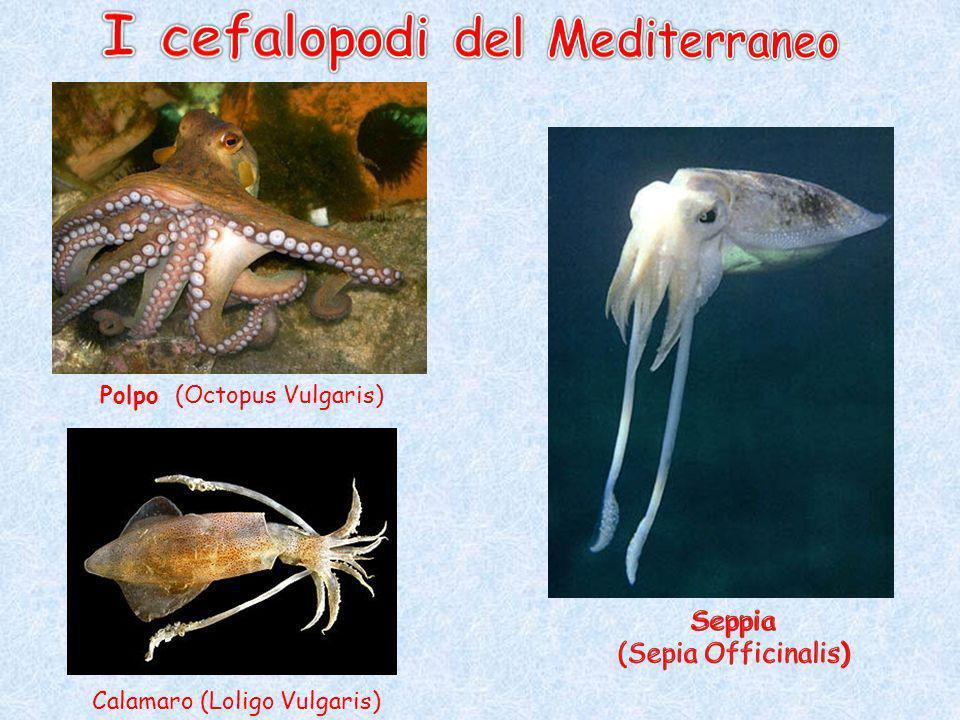 SCORFANO (Scorpaena Scrofa) Triglia di fango (Mullus Barbatus) Tonno rosso (Thunnus Thinnus) Sarago fasciato (Diplodus Vulgaris)