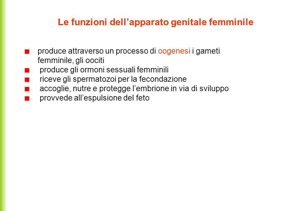 Le funzioni dellapparato genitale femminile produce attraverso un processo di oogenesi i gameti femminile, gli oociti produce gli ormoni sessuali femm