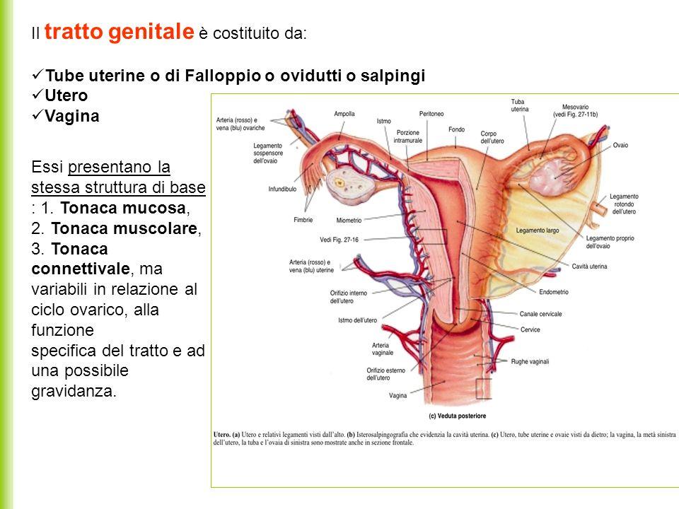 Ovidutti o tube uterine Sono il primo tratto pari e simmetrico del tratto genitale femminile Sono organi mucoso-muscolari, tubulari, cavi, lunghi 10/12 cm Si aprono lateralmente nella cavità peritoneale, medialmente nellutero.