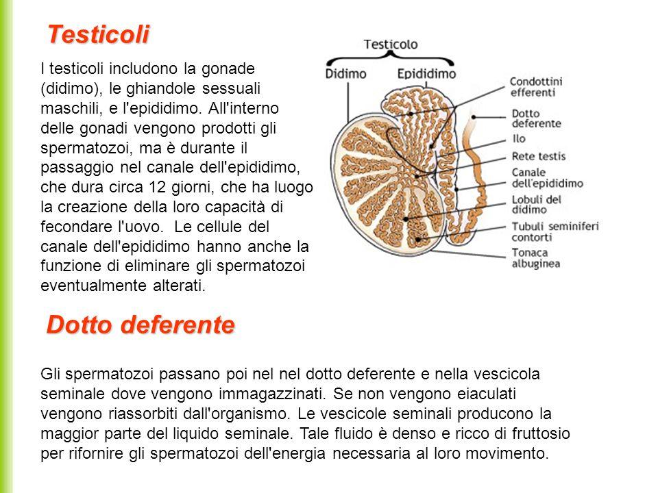 La prostata è una ghiandola attraversata dai condotti eiaculatori che sboccano nell uretra prostatica.