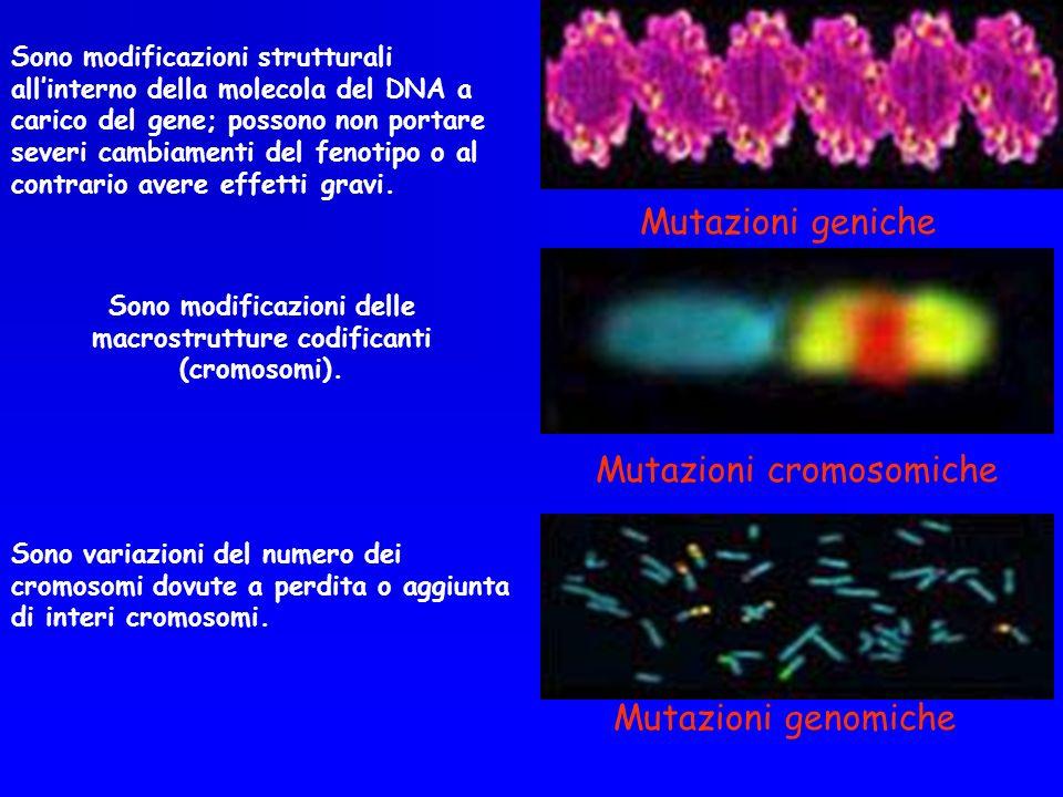 Mutazioni cromosomiche Delezioni (perdita di segmenti di cromosoma) Inserzioni e duplicazioni Inversioni Traslocazioni e trasposizioni Mutazioni genomiche Poliploidie (ripetizione di un numero intero di genomi) Aneuploidie(perdita o aggiunta di cromosomi interi) Movimenti Robertsoniani( fusioni e dissociazioni) Mutazioni geniche Sostituzione Aggiunta o inserzione Perdita o delezione Inversione