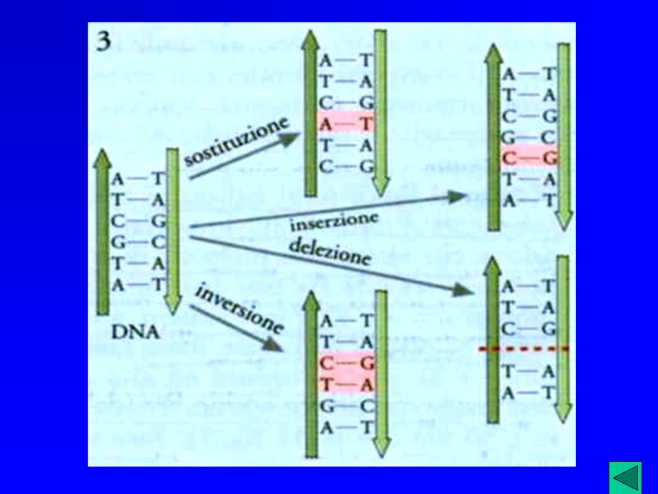 La sindrome di Down può essere dovuta anche ad un fenomeno di TRASLOCAZIONE Le persone affette hanno apparentemente un numero normale di cromosomi; in realtà possiedono 3 copie del cromosoma 21 ma una di queste è fusa ad un altro cromosoma, di solito il 14.