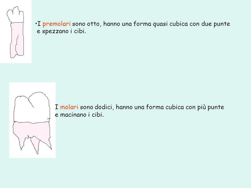I premolari sono otto, hanno una forma quasi cubica con due punte e spezzano i cibi. I molari sono dodici, hanno una forma cubica con più punte e maci