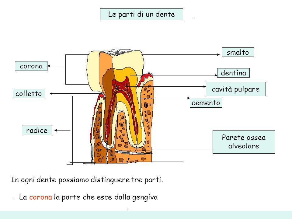 corona colletto radice smalto dentina cavità pulpare cemento Le parti di un dente In ogni dente possiamo distinguere tre parti.. La corona la parte ch