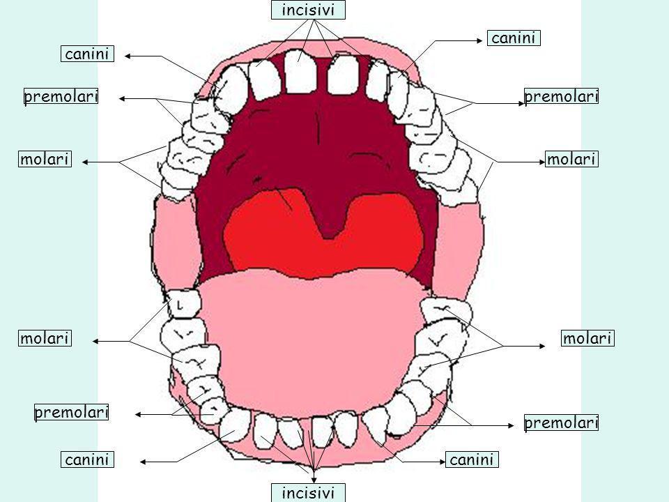molari premolari canini incisivi molari premolari canini molari premolari canini incisivi