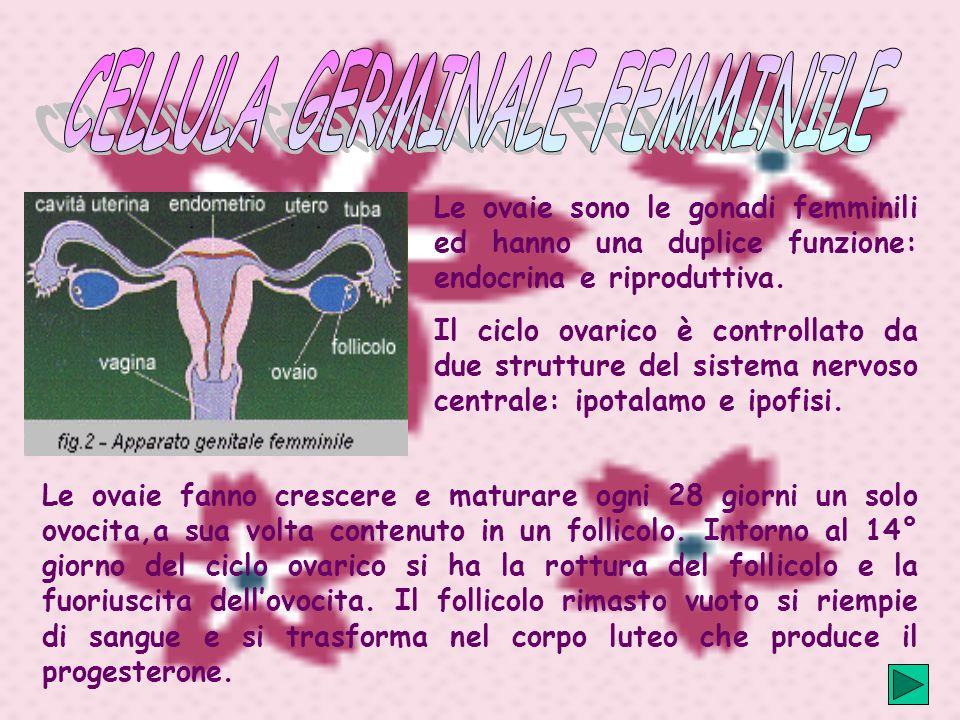 Le ovaie sono le gonadi femminili ed hanno una duplice funzione: endocrina e riproduttiva.