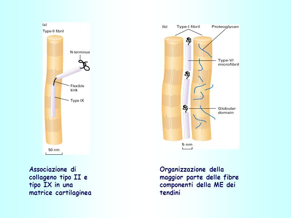 Associazione di collageno tipo II e tipo IX in una matrice cartilaginea Organizzazione della maggior parte delle fibre componenti della ME dei tendini