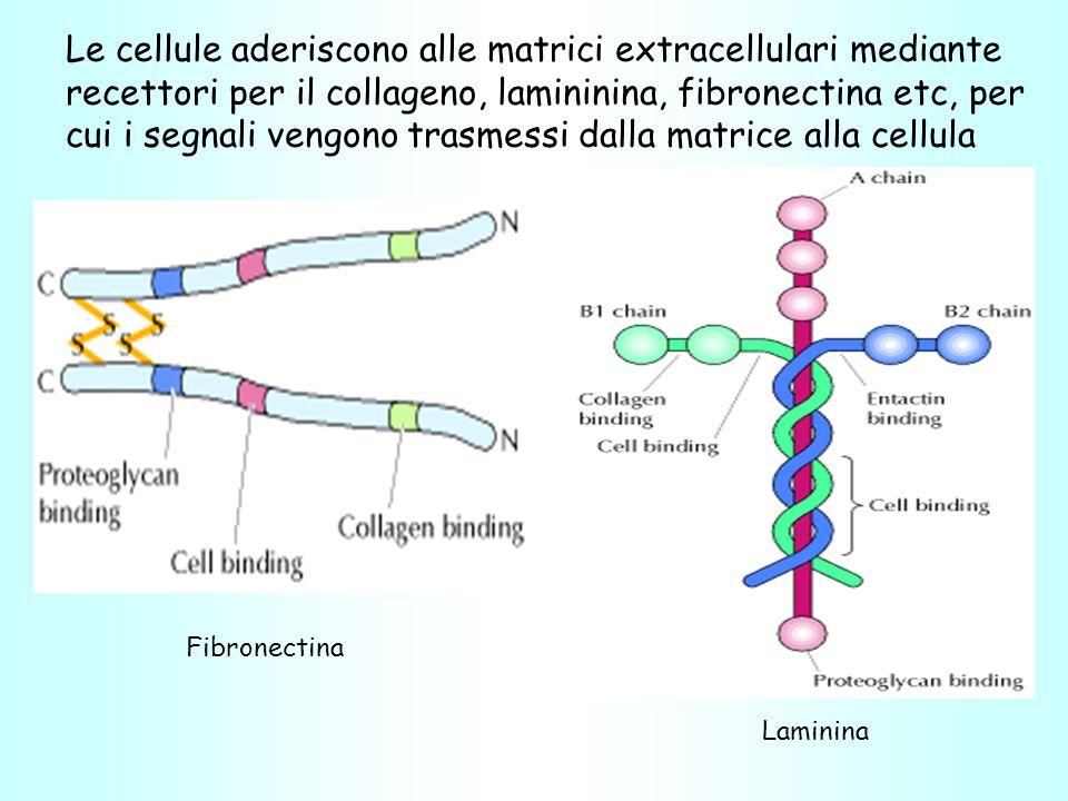 Fibronectina Laminina Le cellule aderiscono alle matrici extracellulari mediante recettori per il collageno, lamininina, fibronectina etc, per cui i segnali vengono trasmessi dalla matrice alla cellula